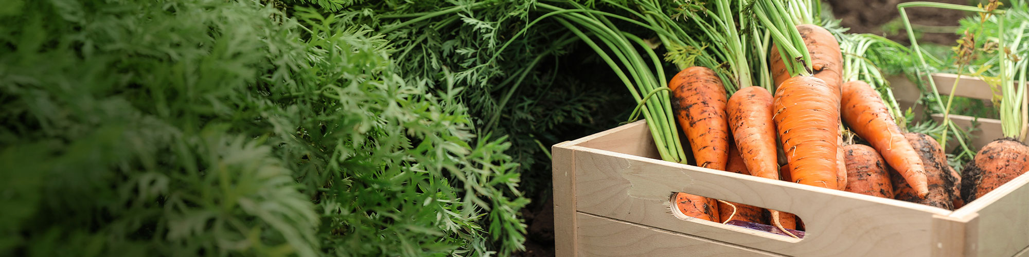 Freshly picked Carrots in a wooden box